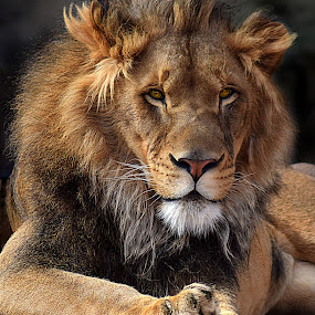 Lion Paws by Shawn Thomas - Animals Lions, Tigers & Big Cats ( pride, predator, lion, cat, carnivore, mane, wildlife, king, large,  )