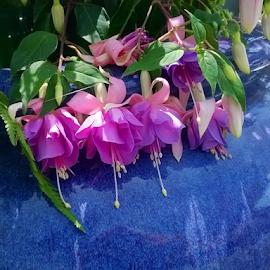 Fushia by Holly Romine - Novices Only Flowers & Plants ( fushia, purple, blue, bloom, flowers )