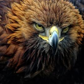 Tawny Eagle by Pat Hartley - Animals Birds ( bird, bird of prey, eagle, feahers, raptor )