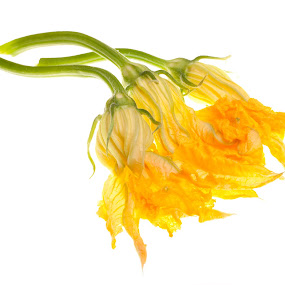 Zucchini Flowers On White by eZeepics Studio - Food & Drink Fruits & Vegetables ( raw, orange, isolated, cuisine, petals, white, yellow, blossom, edible, courgette, tasty, zucchini, nutrition, fresh, food, background, healthy, ingredient, vegetarian, vegetable, natural, golden, flower, gourmet )