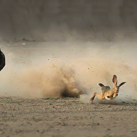 Catch me if you can by Abdul Rehman - Animals - Dogs Running ( rabbit, thrill, life, doggy, bunny, dust, catch, greyhound, running, race )