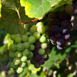 Grape Fun by Ingrid Anderson-Riley - Nature Up Close Gardens & Produce (  )