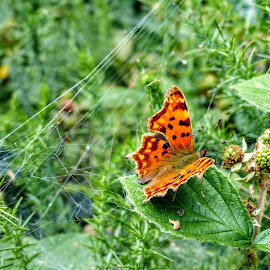 Comma Butterfly by Ian Popple - Animals Insects & Spiders ( butterfly, colourful, air, summertime )