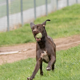 I got a ball by Karin Bennett - Animals - Dogs Playing ( playing, dogs, dog parks )