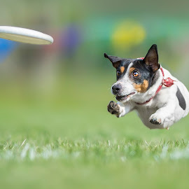 Big flight of a big dog :) by Claudio Piccoli - Animals - Dogs Playing ( discdog, dogsinaction, flyingdogs, claudiopiccoli, jackrusselinaction, frisbee, frisbeedog, jackrussel )