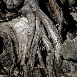 Roots by David Gilchrist - Nature Up Close Other Natural Objects ( tree roots, nature, tree, natural object, cedar )