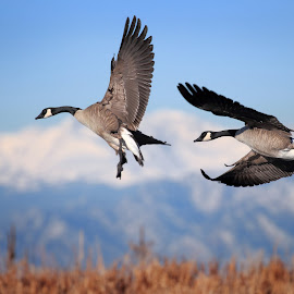 Rocky Mountains and Geese by Kent Turner - Animals Birds ( flight, flying, mountains, on the wing, rocky mountains, colorado, wildlife, rockies, scenic, canada geese, geese )