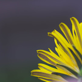 Part Way by Mikahla Dorey - Abstract Macro ( macro, dandelion, yellow, flower )