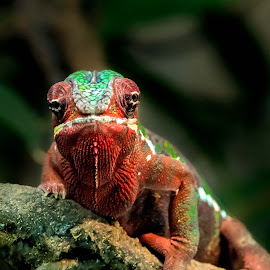 chameleon by Darren Sutherland - Animals Reptiles
