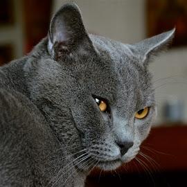 Hugo de Ventadour by Serge Ostrogradsky - Animals - Cats Portraits