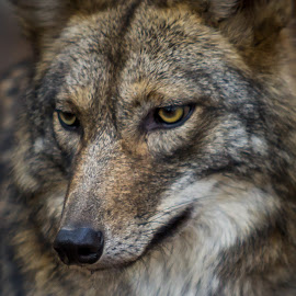 Gaze by Kevin Frick - Animals Other Mammals ( coyote, mammal, eyes )