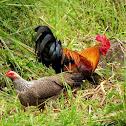 Javan Red Junglefowl