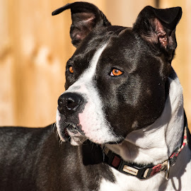pretty pitty by Jodi Iverson - Animals - Dogs Portraits
