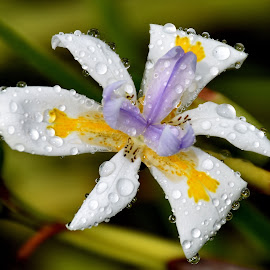 macro  by Zhenya Philip - Flowers Single Flower ( water, macro photography, color, nature up close, wildlife, flower, droplets )