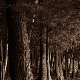 Silent Sentinals  by Michael Haagen - Landscapes Forests ( forest, tree, treetrunk, wood, split tone,  )