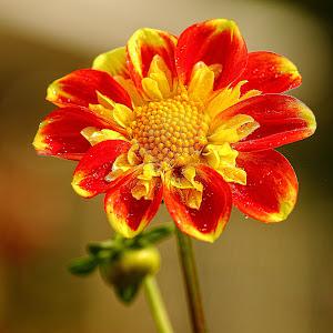 Dalhia orange 01.jpg