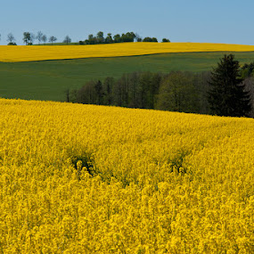 Rape flied by Sigitas Baltramaitis - Landscapes Prairies, Meadows & Fields ( field, nature, plants, germany, landscape, flowers, rape )