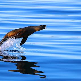 Exuberance by Capt Jack - Animals Sea Creatures ( water, marine, seal, sea creature, sea lion, sea, ocean,  )