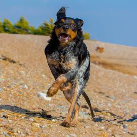 Running Spaniel by Jenny Trigg - Animals - Dogs Running ( spaniel, puppy, beach, dog, running, brittany spaniel )