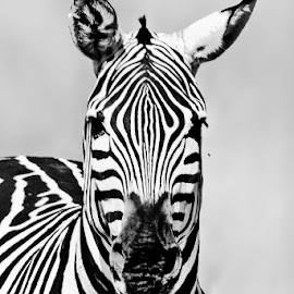 Portrait of a zebra by Pravine Chester - Black & White Animals ( zebra, monochrome, black and white, animals, wildlife )
