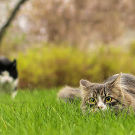 Ambush x 2 by Jane Bjerkli - Animals - Cats Portraits