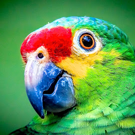 Greenie by Ken Nicol - Animals Birds (  )