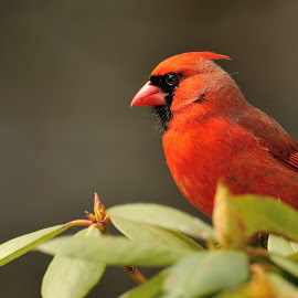 Cardinal by Rob Dupcak - Novices Only Wildlife ( cardinal, rhododendron, red, green, male )