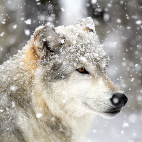 by Brandi Nichols - Animals Other Mammals ( canine, lobo, winter, wolf, alpha, wolves, canis lupus,  )