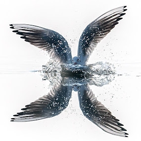 White Angel by Ken Cheung - Animals Birds ( water, gull, spray, black-headed gull, white,  )