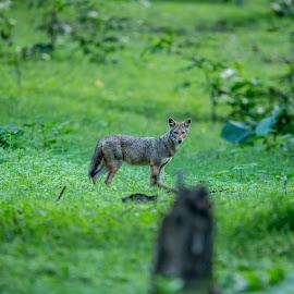 Jackal by Shereena Vysakh - Animals Other Mammals ( monsoon, kabini, wildlife, jackal, animal )