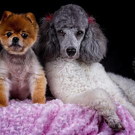 Gypsy and Penny by Tony Austin - Animals - Dogs Portraits ( poodle, dogs, pets, penny, pomeranian, gypsy )
