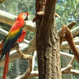 Bird by Drew Emond - Novices Only Wildlife ( bird, red, zoo, tree, parrot, branch )