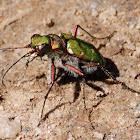 Green Tiger Beetle; Cicindela Campestre