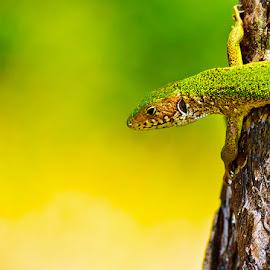 Vigil by Daniel Kokomba - Animals Reptiles ( looking, reptiles, lizard, desert, nature, tree, green, summer )