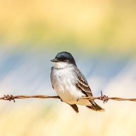 Eastern Kingbird by Garnie Ross - Animals Birds ( bird, kingbird, nature, color, wire, frnce )