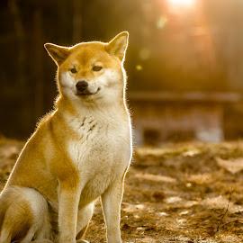 The Golden Hour by Astrid Kallerud - Animals - Dogs Portraits ( shiba, sunset, pet, dog portrait, dog, golden hour, animal )