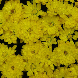 Mums in the Rain by Jane Spencer - Flowers Flowers in the Wild ( flower pot, autumn, fall, mums, rain )