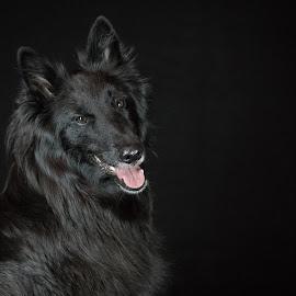 Black on Black by Janet Delight - Animals - Dogs Portraits ( black background, belgian shepherd dog groenendael, black dog, black on black, black dog portrait,  )
