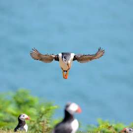 Puffins by Les Reynolds Amanda Whichello - Uncategorized All Uncategorized ( seabird, puffins, clown, sea, inflight,  )