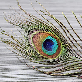 Peacock feather closeup by Dipali S - Artistic Objects Still Life ( detail, colorful, bright, wildlife, beauty, exotic, feather, pretty, nature, closeup, eye, abstract, decoration, texture, wallpaper, beautiful, white, plumage, plume, photo, tail, bird, pattern, background, peacock, design )