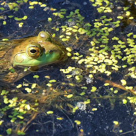 Pond Frog by Gaylord Mink - Animals Amphibians