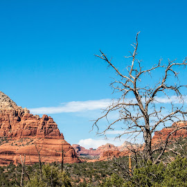 Stand Alone by Joan Sharp - Nature Up Close Trees & Bushes ( blue sky, desert, tree, naked, red rocks,  )