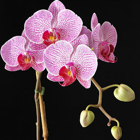 Orchid by Peg Elmore - Nature Up Close Flowers - 2011-2013 ( spots, orchid, purple, buds, flower )