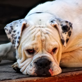 Buster by Bruce Newman - Animals - Dogs Portraits ( bulldog, dogs, nature, outdoors, portrait )