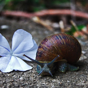 snail by Mike Mills - Animals Other ( shell, macro, snail, garden, flower )