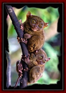 Tarsier wallpapers - screenshot