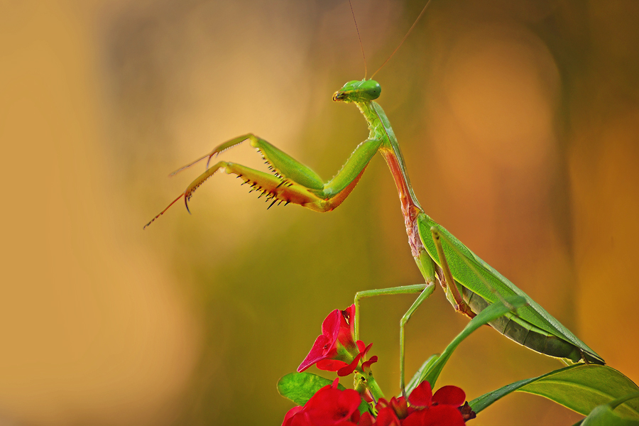 mantis standing by Tele Nicotin - Animals Insects & Spiders ( macro )