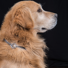 Golden Retriever by Cristobal Garciaferro Rubio - Animals - Dogs Portraits ( male dog, dog, golden, golden retriever )