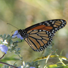 Winging It by Ted and Nicole Lincoln - Uncategorized All Uncategorized ( wildflowers, bug, butterfly, insect, monarch butterfly )