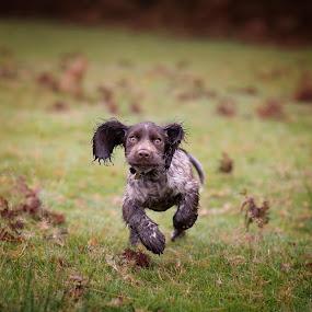 The Cocker Spaniel Gallop by Jude Stewart - Animals - Dogs Puppies ( cockerspaniel, spaniel, workingcocker, puppy, dog, running,  )